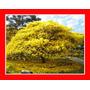 Flamboyant Amarelo Delonix Regia Flor Sementes Para Mudas