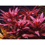 Planta Aquatica Para Aquario Ludwigia Glandulosa(04 Ramos)