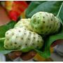 Belas Mudas Da Fruta Noni - Já Produz!
