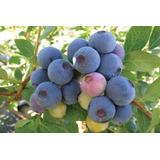Blueberry Southern Mirtilo De Clima Quente Sementes P/ Mudas