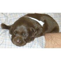 Promo X Una Semana Labrador Choco Cachorros De Excelencia