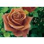 Coque Rose Bonsai (20 Semillas)