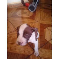 Cachorros Americano Pitbull
