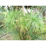 Papiro Plantas Impecables En Bolsa De Vivero