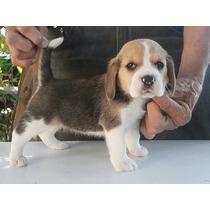 Cachorros Beagle Con Cert. Nacimiento, Microchip Y Tatuaje