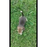 Beagle Hembra Hermosa Bigol Beagle Cachorros Hembra Puros