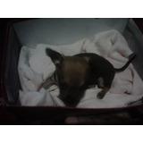 Cachorros Pincher Miniatura Dos Meses De Nacido(macho)