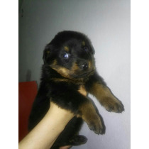 Cachorros De Rottweiller Negro Fuego Vacunados