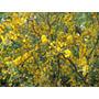 Tusca Hierba Medicinal Recien Llegada X 1 Kg