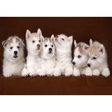 Lámina 45 X 30 Cm. - Cachorros De Perro Siberiano Husky
