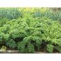Samillas Super Alimento Kale O Col Rizada