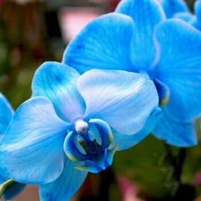 Sementes De Orquídea Borboleta Azul - Rara - 12 Sementes