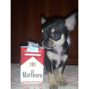 Chihuahuas Super Micro Mini Con Pedigree De Fca