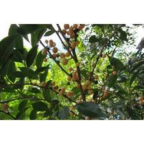 Muda De Canela De Veado ( Casearia Decandra Jacq ) 20 A 30cm