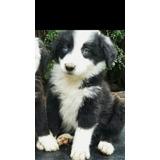 Cachorros Border Collie !! Entrega 20 Mayo