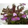 Orquídea 906 Cat. Shilleriana Tipo