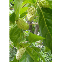 Noni Morinda Citrifolia 50 Semillas Exóticas Plantas Frutal