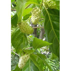 Noni Morinda Citrifolia 100 Semillas Exóticas Plantas Frutal