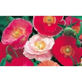 Poppy Shirley Mix 20 Semillas Flor Planta Sol Directo Sdqro