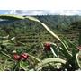 Mudas Pitaya Vermelha Cebra Da Nicarágua ( Raridade ) C/ 100