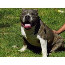 Cachorros American Bully Tamaño Standar