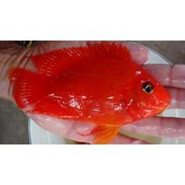 Peixe Papagaio King Kong Ou Kkp Ótimo Padrão + Ração