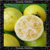 Araçá Amarelo Anão Sementes Frutas Para Mudas