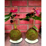 Anthurium Plantas De Interior Kokedama