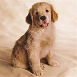 Cachorros Golden Retriver Originales