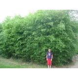 Caña Bambú. 1,80 De Altura Ideal Para Cerco