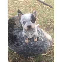 Cachorros Blue Heeler/pastor Ganadero Australiano