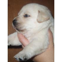 Cachorros De Labrador Hijos De Campeon Arg. Dorado/chocolate