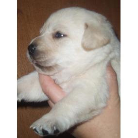 Cachorros De Labrador Dorado