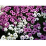 Plantines Florales De Dimorfoteca !!