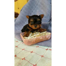 Yorkshire Terrier Micro Mini Macho