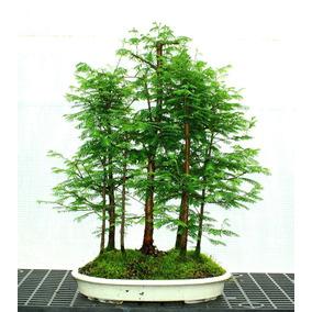 10 Sementes Metasequoia Amanhecer Bonsai Coração Verde Lindo