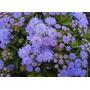 450 Sementes Flor Agerato Mexicano Azul # Produto Original