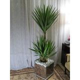 Planta Para Escritório Yucca Cachepot De Vidro 35x35x35cm