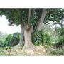 Ombú - Phytolaca Dioica - Semillas Para Árboles O Bonsai