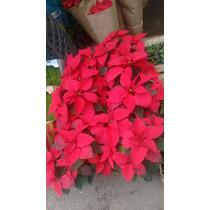 Noche Buena , Nochebuena ( Planta, Chica Paquete De 12 Pz)