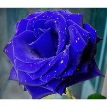 40 Sementes De Rosa Azul Raras Exóticas/p Mudas