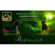 Cachorros Rottweiler Padres Importados Alta Calidad Genética