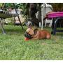 Bulldog Frances Inscrito Para Cruza