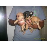 Chihuahuas Mini De Bolsillo Machos