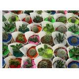 Promo 10 Mini Cactus Y Suculentas (crasas) Vivero Raizmadre