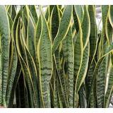 Plantas Lengua De Suegra, Espada De San Jorge Sansevieria