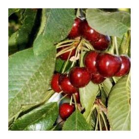 15 Semillas De Prunus Avium - Cereza Picota Codigo 975