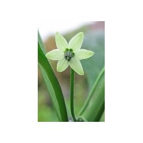 9 Semillas De Capsicum Chinense - Naga Jolokia Codigo 465
