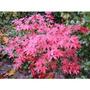 12 Semillas De Acer Palmatum (arce Japones De Montaña)