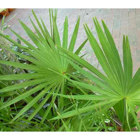 10 Semillas De Serenoa Repens - Saw Palmetto Codigo 1331